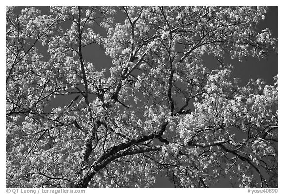 Branches with spring leaves against sky. Yosemite National Park (black and white)