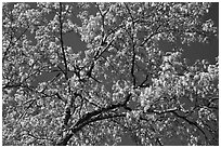 Branches with spring leaves against sky. Yosemite National Park, California, USA. (black and white)
