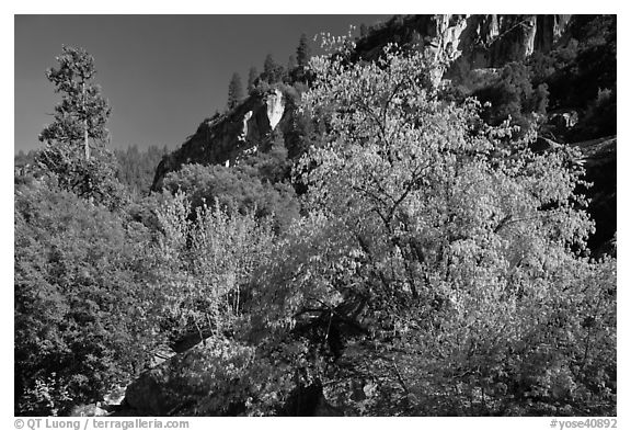 Tree in cliffs, early spring, Lower Merced Canyon. Yosemite National Park (black and white)