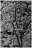 New leaves on tree, Lower Merced Canyon. Yosemite National Park, California, USA. (black and white)