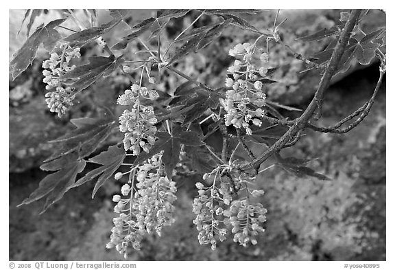 New buds on tree branch and rock. Yosemite National Park (black and white)
