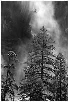 Trees and falling water, Bridalveil falls. Yosemite National Park ( black and white)