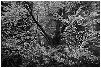 Tree in bloom. Yosemite National Park ( black and white)