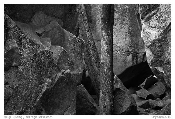 Tree and boulders. Yosemite National Park (black and white)