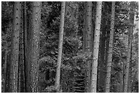 Pine forest. Yosemite National Park ( black and white)