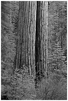 Twin sequoia truncs in the spring, Tuolumne Grove. Yosemite National Park ( black and white)