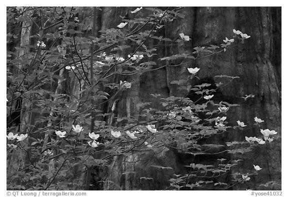Dogwood blooms and giant sequoia tree trunk, Tuolumne Grove. Yosemite National Park (black and white)