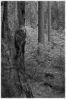 Forest with sequoia, pine trees, and dogwoods, Tuolumne Grove. Yosemite National Park, California, USA. (black and white)