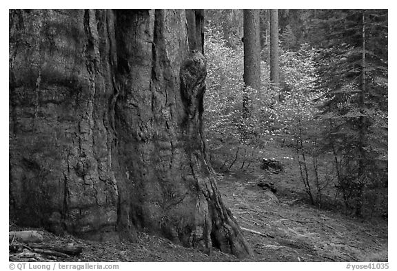 Base of giant sequoia, pines, and dogwoods, Tuolumne Grove. Yosemite National Park (black and white)
