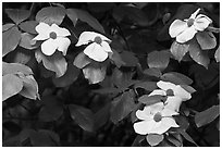 Close-up of dogwood flowers. Yosemite National Park, California, USA. (black and white)