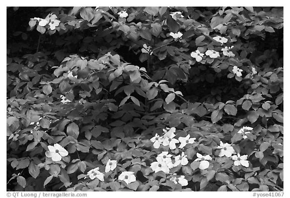 Dogwoods flowers and leaves. Yosemite National Park (black and white)