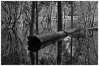 Fallen tree in Merced River spring overflow. Yosemite National Park, California, USA. (black and white)