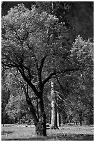 Oak tree in spring, El Capitan Meadow. Yosemite National Park, California, USA. (black and white)
