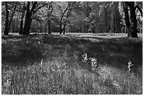 New ferns, grasses,  and oak trees, El Capitan Meadow. Yosemite National Park, California, USA. (black and white)