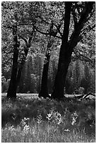 Oak trees in spring, El Capitan Meadow. Yosemite National Park ( black and white)
