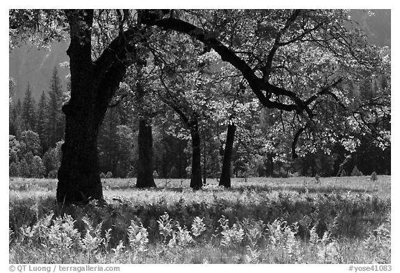 Ferns and oak trees in spring, El Capitan Meadow. Yosemite National Park (black and white)