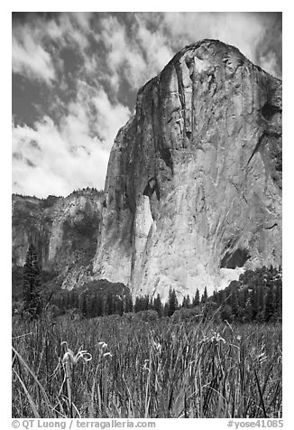 Wild irises and El Capitan. Yosemite National Park (black and white)