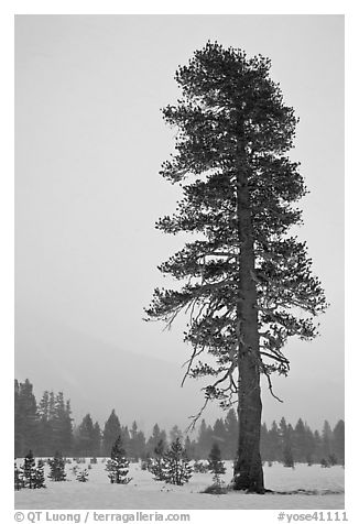 Black And White Picturephoto Tall Solitary Pine Tree In Snow Storm