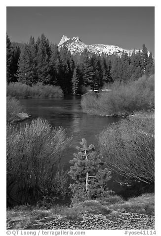 Willows, fresh snow,  and Cathedral Peak. Yosemite National Park (black and white)