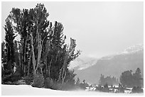 Trees in storm with blowing snow, Tioga Pass. Yosemite National Park, California, USA. (black and white)