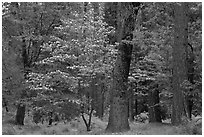 Forest in the spring. Yosemite National Park, California, USA. (black and white)