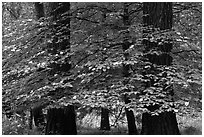 Dogwood tree between two dark pine tree trunks. Yosemite National Park, California, USA. (black and white)