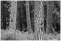 Pine forest with patterned trunks. Yosemite National Park ( black and white)