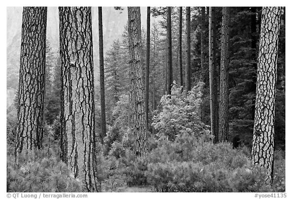 Forest with fall pine trees and spring undergrowth. Yosemite National Park (black and white)