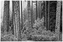 Forest with fall pine trees and spring undergrowth. Yosemite National Park, California, USA. (black and white)