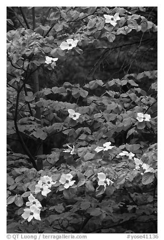 Dogwood tree branches with flowers. Yosemite National Park (black and white)