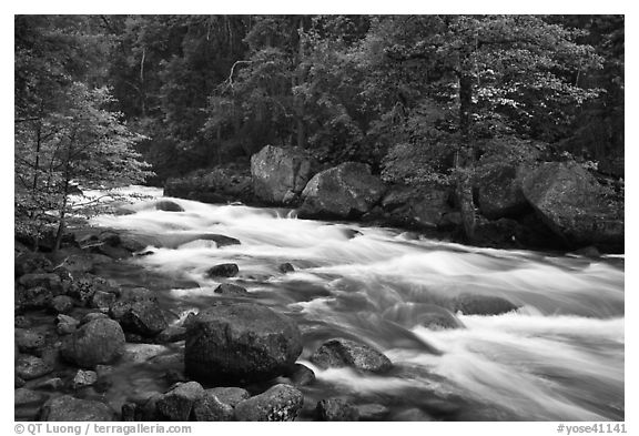 Merced River with newly leafed trees and dogwood, Happy Isles. Yosemite National Park (black and white)