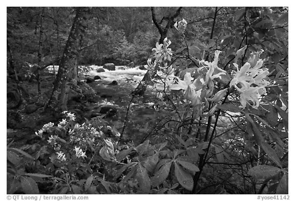 Azelea near Merced River, Happy Isles. Yosemite National Park (black and white)