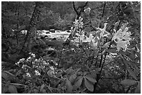 Azelea near Merced River, Happy Isles. Yosemite National Park, California, USA. (black and white)