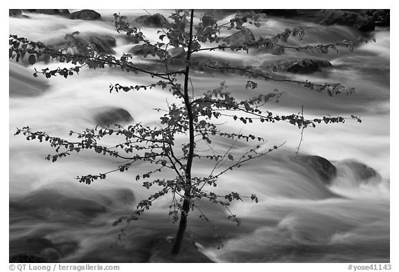 Branches and river, Happy Isles. Yosemite National Park (black and white)