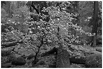 Dogwood tree and mossy boulders in spring, Happy Isles. Yosemite National Park, California, USA. (black and white)