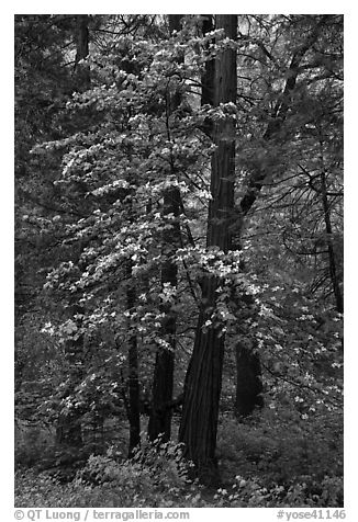 Tall dogwood tree, Happy Isles. Yosemite National Park (black and white)