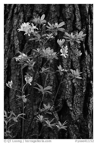 Azelea and pine trunk. Yosemite National Park (black and white)