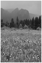 Wildflowers in Cook Meadow and Cathedral Rocks in storm. Yosemite National Park ( black and white)