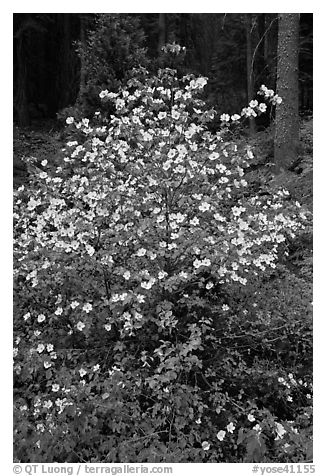 Pacific Dogwood in bloom near Crane Flat. Yosemite National Park (black and white)