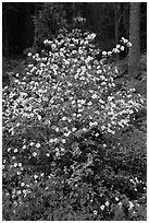Pacific Dogwood in bloom near Crane Flat. Yosemite National Park, California, USA. (black and white)