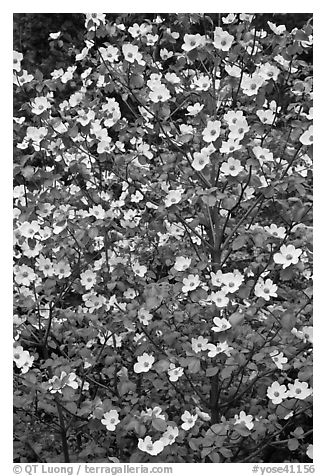 Close up of Pacific Dogwood. Yosemite National Park (black and white)