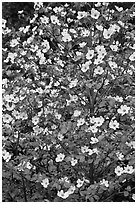 Close up of Pacific Dogwood. Yosemite National Park, California, USA. (black and white)