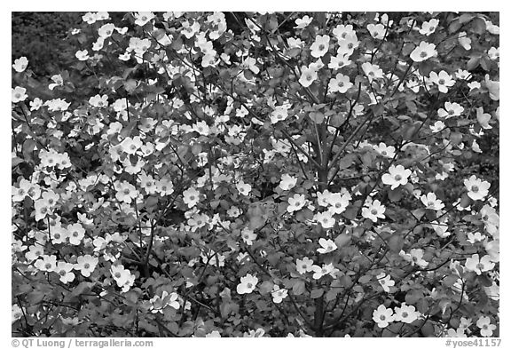 Pacific Dogwood flowers. Yosemite National Park (black and white)