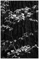 Dogwood branches with flowers against trunk. Yosemite National Park ( black and white)