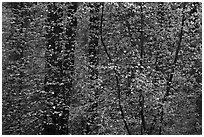 Curtain of recent Dogwood leaves and flowers in forest. Yosemite National Park, California, USA. (black and white)