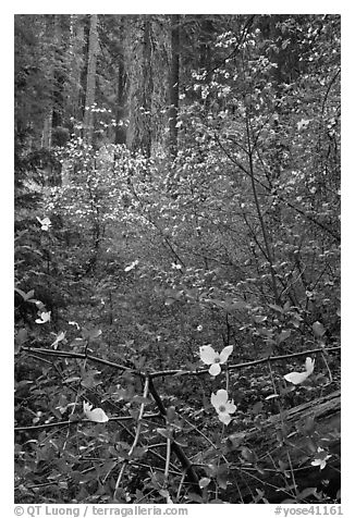 Forest with dogwoods in bloom near Crane Flat. Yosemite National Park (black and white)
