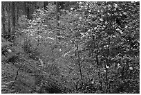 Forest in spring with fallen trees, and flowering dogwoods. Yosemite National Park, California, USA. (black and white)