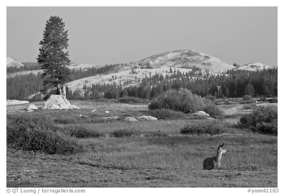 Deer, meadows, and Pothole Dome, early morning. Yosemite National Park (black and white)