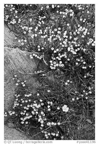 Close up of alpine flowers. Yosemite National Park (black and white)