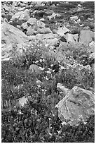 Alpine flowers and rocks. Yosemite National Park, California, USA. (black and white)